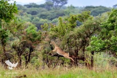 Oribi Leaping Across the Plains, Kidepo Valley National Park, Uganda