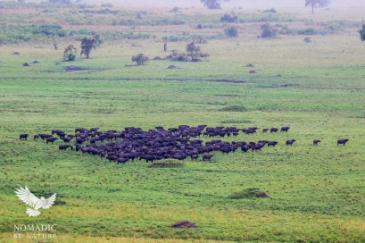 Herd of Buffalo on Full Alert, Kidepo Valley National Park, Uganda