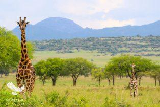 Giraffes in the Acacia Trees, Kidepo Valley National Park, Uganda