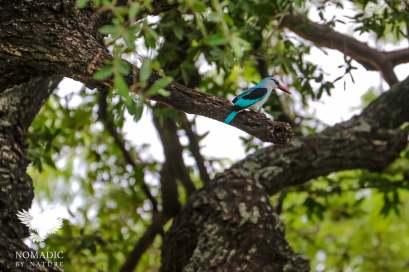 Woodland Kingfisher, Kruger National Park, South Africa