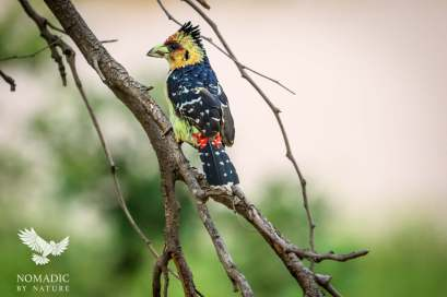 Crested Barbet, Kruger National Park, South Africa