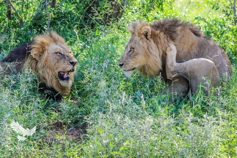 Two Male Lions Relaxing in the Shade, Kruger National Park, South Africa