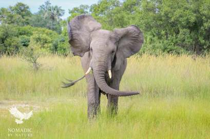 An Elephant Charging Us on Safari in the Okavango Delta, Botswana
