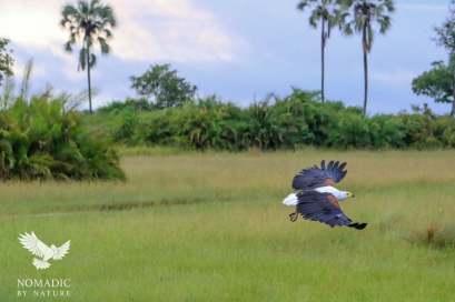 A Fish Eagle in Flight, Jao Concession, Botswana