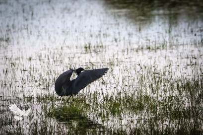 The Black Heron Spreading its Wings to Fish, Jao Concession, Botswana
