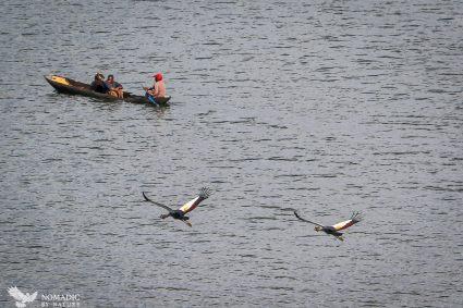 Crowned Cranes, Lake Bunyonyi, Uganda