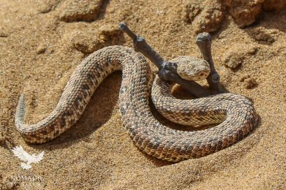 Perinquey's Adder Side-winding in the Sand, Dorob National Park, Namibia