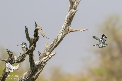 Pied Kingfisher Flying off to Hunt, Okavango Delta, Botswana