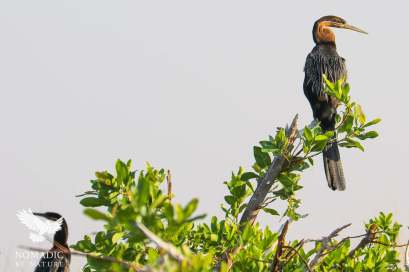 An African Darter at Dawn, Okavango Delta, Botswana