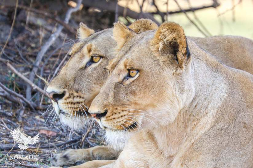 Murder in the Eyes, Okavango Delta, Botswana