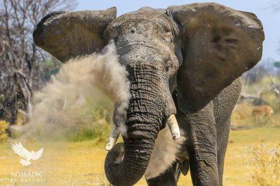 An Elephant Dusting, Okavango Delta, Botswana