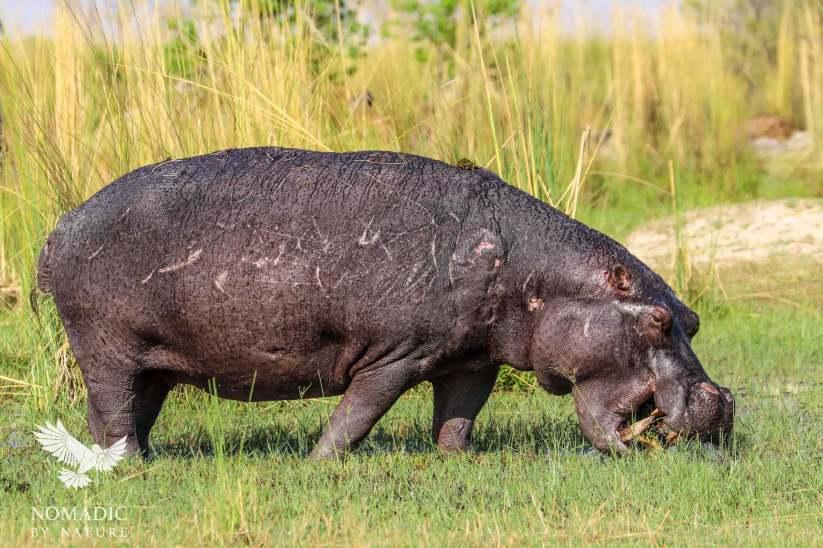 A Hippo Mowing the Lawn, Okavango Delta, Botswana