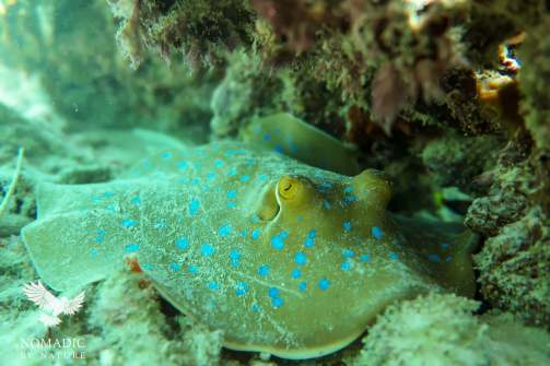 The Bluespotted Ribbontail Stingray, Snorkeling Rolas Island, Quirimbas National Park, Mozambique