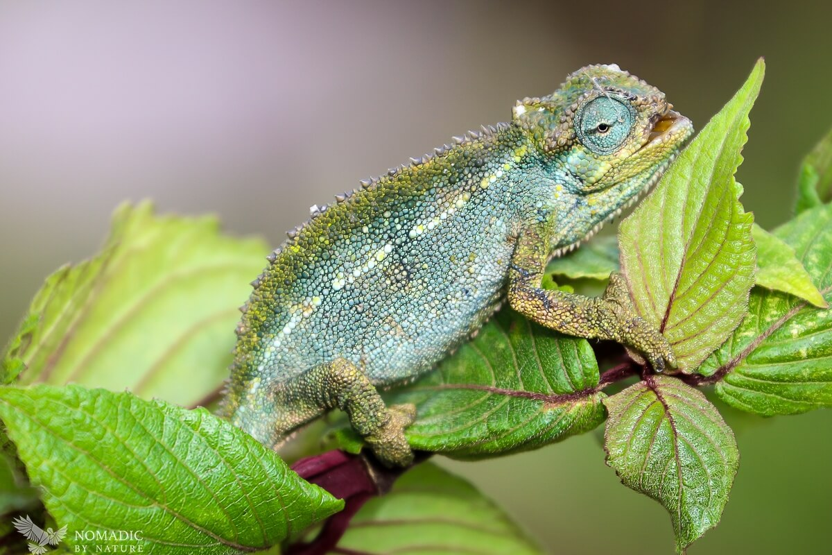 A Chameleon in the Rwenzori Mountains