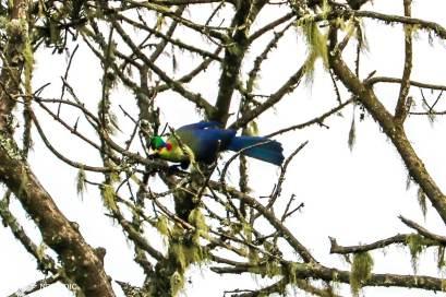 The Rwenzori Turaco, Rwenzori Mountains National Park