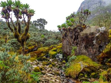 Giant Groundsels in a Small River in the Rwenzori Mountains