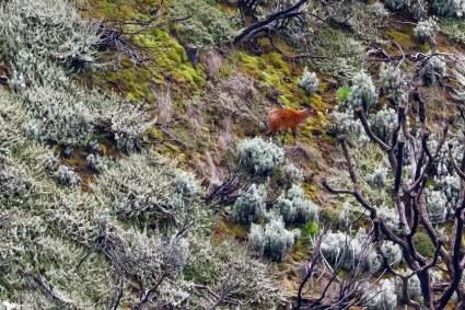 Rwenzori Red Duiker, Rwenzori Mountains