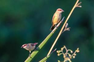Little Bandit-like Birds, Samatian Island