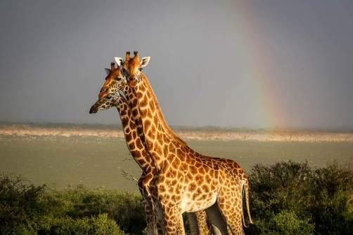 Giraffe Island, Lake Baringo