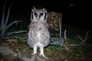 Verreaux's eagle-owl on Samatian Island