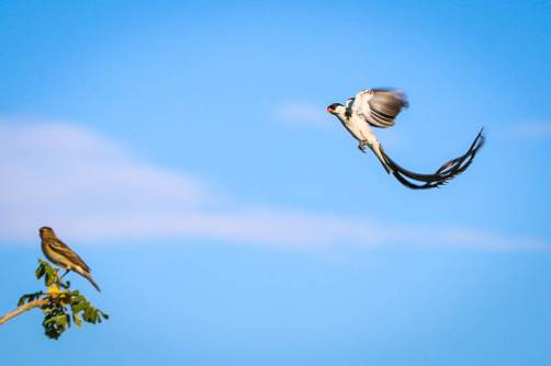 Pin -Tailed Whydah Defends its Tree, Samatian Island