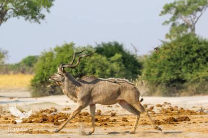 A Male Kudu Trots Away from the Watering hole, Savuti, Botswana