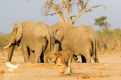 A Lioness Stalks a Jackal eating her Kill, Savuti, Botswana
