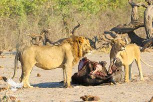 Two Lions Scan their Surroundings while Gorging on a Buffalo, Savuti, Botswana