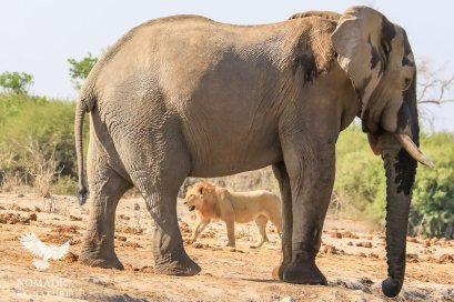 An Elephant and Lion Walk Opposite Ways, Displaying the Difference in their Size, Savuti, Botswana