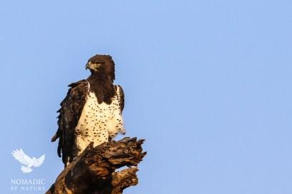 A Martial Eagle, Serengeti National Park, Tanzania