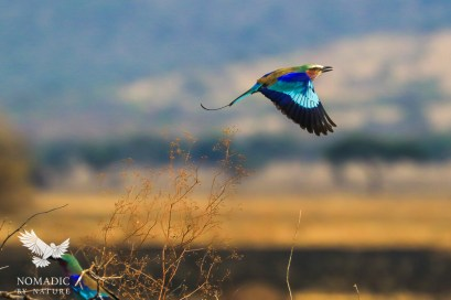 A Lilac Breasted Roller in Flight, Serengeti National Park, Tanzania