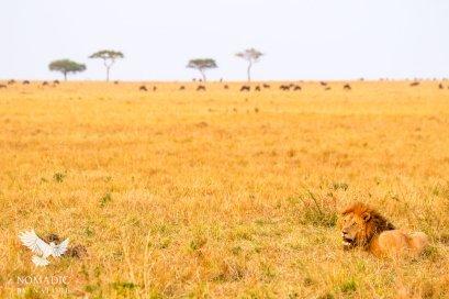 A Male Lion Stalking Wildebeest, Serengeti National Park, Tanzania