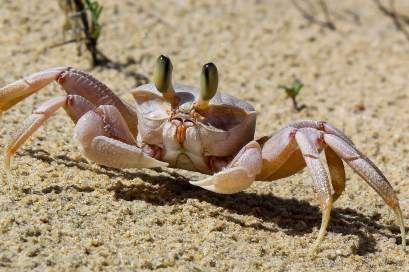 A Ghost Crab in the Dunes, Shela, Kenya