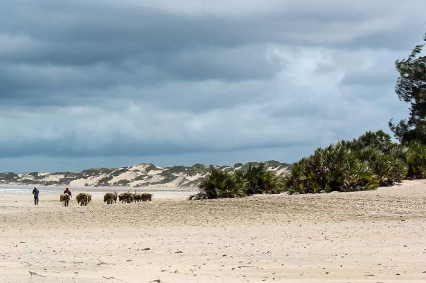 Beach Donkeys Being Herded Home