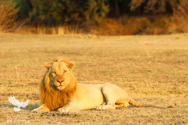 The White Male Lion, South Luangwa National Park, Zambia