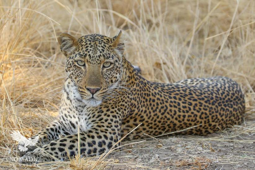 The Penetrating Stare of a Leopard, South Luangwa National Park, Zambia