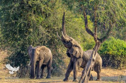 Elephant Stretching, South Luangwa National Park, Zambia