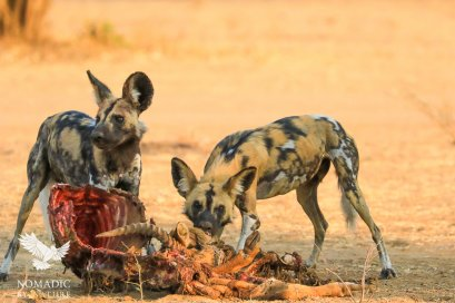 Painted Dogs Feasting on a Puku, South Luangwa National Park, Zambia