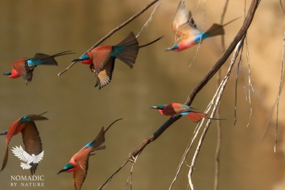 Carmine Bee-eaters Flocking from their Nests, South Luanga National Park, Zambia