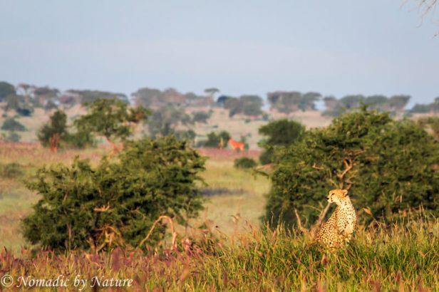 A Cheetah on the Hunt, Taita Hills