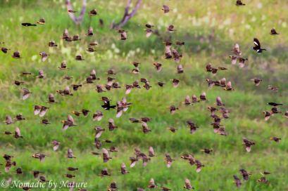 A Flock of Quelea, Taita Hills