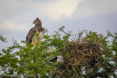 A Martial Eagle Watching the Plains, Taita Hills