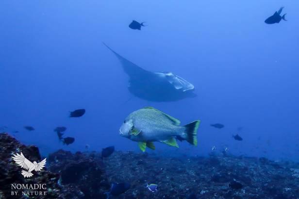 Manta Ray Floats Above my Head, Scuba Diving, Tofo Beach, Mozambique