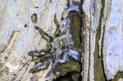 Tarantula, Tsavo East, Kenya