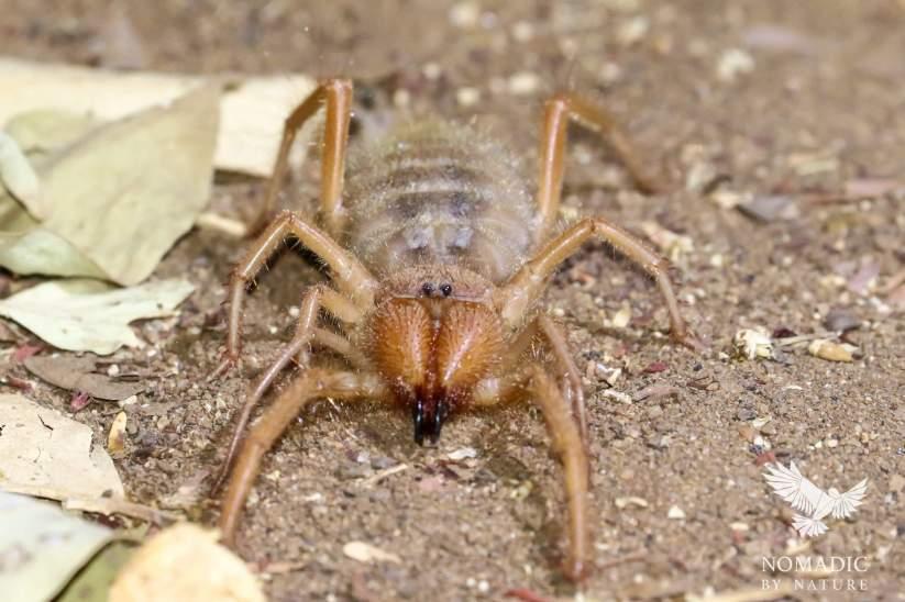 Camel Spider, Tsavo East, Kenya