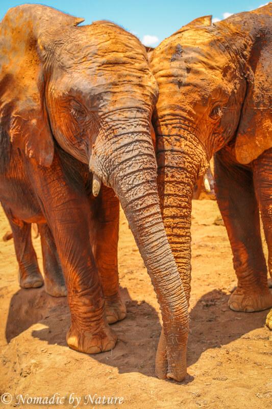 Elephant Friends Holding Trunks, Umani Springs