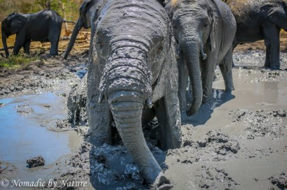 Elephants Properly Covered in Mud, Umani Springs