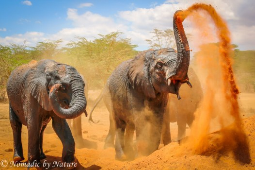 Elephants Playing in the Red Volcanic Dust, Umani Springs