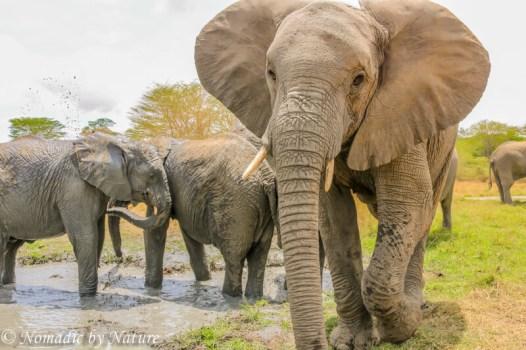 Curious Elephant, Umani Springs