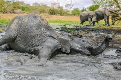 A Proper Elephant Mud Bath, Umani Springs